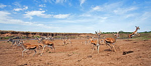 Thomson's gazelles (Eudorcas thomsonii) and herd of Common / Plains zebra (Equus quagga burchellii) retreat having changed their minds about crossng the Mara River - wide angle perspective. Masai Mara...  -  Anup Shah