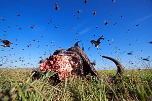 Cape buffalo (Syncerus caffer) carcass covered in flies, with vultures in the background - wide angle perspective, Masai Mara National Reserve, Kenya. February  -  Anup Shah