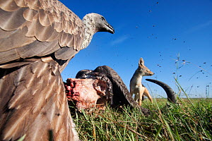 White-backed vultures (Gyps africanus) and Black-back jackal (Canis mesomelas) feeding from the carcass of a Cape buffalo (Cyncerus caffer) - wide angle perspective. Masai Mara National Reserve, Kenya...  -  Anup Shah