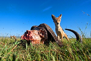 Black-backed jackal (Canis mesomelas) male defending a kill from vultures after lions have finished - wide angle perspective, Masai Mara National Reserve, Kenya. February - Anup Shah