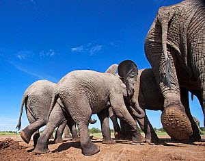 African elephant (Loxodonta africana) group leaving a waterhole - wide angle perspective. Masai Mara National Reserve, Kenya. March - Anup Shah