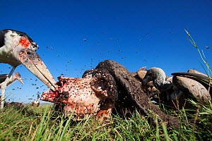 Marabou stork (Leptoptilos crumeniferus) and White-backed vultures (Gyps africanus) feeding from the carcass of a Cape buffalo (Cyncerus caffer) covered with flies - wide angle perspective. Masai Mara... - Anup Shah