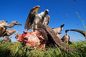 White-backed vultures (Gyps africanus) feeding from the carcass of a Cape buffalo (Cyncerus caffer) - wide angle perspective. Masai Mara National Reserve, Kenya. February  -  Anup Shah
