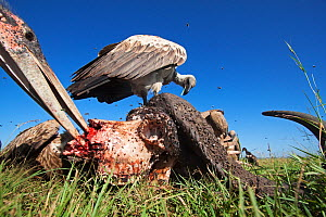 White-backed vulture (Gyps africanus) and Marabou stork (Leptoptilos crumeniferus) feeding from the carcass of a Cape buffalo (Cyncerus caffer) covered with flies - wide angle perspective. Masai Mara...  -  Anup Shah
