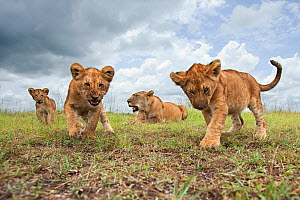 African lion (Panthera leo) cubs aged 6-9 months approaching with curiosity watched by their mother, Masai Mara National Reserve, Kenya. February  -  Anup Shah