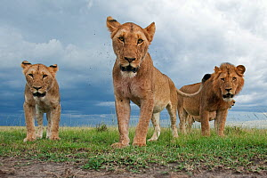 African lion (Panthera leo) three sub adults approaching remote camera with curiosity, Masai Mara National Reserve, Kenya. February - Anup Shah