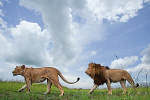 African lion (Panthera leo) male following a female, courtship, Masai Mara National Reserve, Kenya. February - Anup Shah