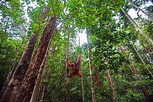 Bornean Orangutan (Pongo pygmaeus wurmbii) mature male 'Nanang' suspended between a tree and a liana - wide angle perspective. Pondok Tanggui, Tanjung Puting National Park, Central Kalimantan, Borneo,... - Anup Shah