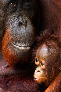 Bornean Orangutan (Pongo pygmaeus wurmbii) female 'Yuni' and her baby aged 3-6 months - portrait. Camp Leakey, Tanjung Puting National Park, Central Kalimantan, Borneo, Indonesia. July 2010. Rehabilit...  -  Anup Shah
