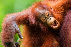 Bornean Orangutan (Pongo pygmaeus wurmbii) female baby 'Petra' aged 12 months yawning - portrait. Camp Leakey, Tanjung Puting National Park, Central Kalimantan, Borneo, Indonesia. July 2010. Rehabilit...  -  Anup Shah