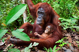 Bornean Orangutan (Pongo pygmaeus wurmbii) female 'Tutut' sitting with her baby son 'Thor' aged 8-9 months - wide angle perspective. Camp Leakey, Tanjung Puting National Park, Central Kalimantan, Born...  -  Anup Shah