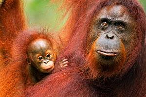 Bornean Orangutan (Pongo pygmaeus wurmbii) female 'Tata' and her unnamed baby aged 2-3 months portrait. Camp Leakey, Tanjung Puting National Park, Central Kalimantan, Borneo, Indonesia. June 2010. Reh...  -  Anup Shah