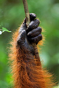 Bornean Orangutan (Pongo pygmaeus wurmbii) mature male 'Doyok's' hand holding a liana(Pongo pygmaeus wurmbii). Pondok Tanggui, Tanjung Puting National Park, Central Kalimantan, Borneo, Indonesia. June...  -  Anup Shah