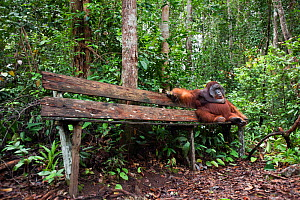 Bornean Orangutan (Pongo pygmaeus wurmbii) mature male 'Doyok' sitting on bench made for tourists - wide angle perspective. Pondok Tanggui, Tanjung Puting National Park, Central Kalimantan, Borneo, In...  -  Anup Shah