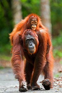 Bornean Orangutan (Pongo pygmaeus wurmbii) female 'Princess' walking along a trail carrying her daughter 'Putri' aged 2 years on her back. Camp Leakey, Tanjung Puting National Park, Central Kalimantan...  -  Anup Shah