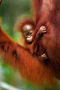 Bornean Orangutan (Pongo pygmaeus wurmbii) baby aged 2-3 months belonging to Tata not yet named. Camp Leakey, Tanjung Puting National Park, Central Kalimantan, Borneo, Indonesia. June 2010. Rehabilita...  -  Anup Shah