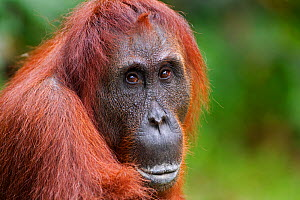 Bornean Orang-utan (Pongo pygmaeus wurmbii) female 'Akmad' head and shoulders portrait. Camp Leakey, Tanjung Puting National Park, Central Kalimantan, Borneo, Indonesia, June 2010. Rehabilitated and r... - Fiona Rogers