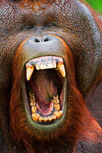 Bornean Orang-utan (Pongo pygmaeus wurmbii) mature male 'Tom' yawning head portrait. Camp Leakey, Tanjung Puting National Park, Central Kalimantan, Borneo, Indonesia, June 2010. Rehabilitated and rele...  -  Fiona Rogers