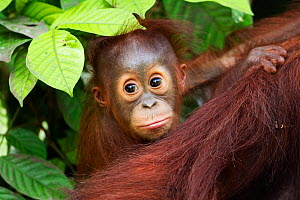 Bornean Orang-utan (Pongo pygmaeus wurmbii) male baby 'Thor' aged 8-9 months peering from behind his mother. Camp Leakey, Tanjung Puting National Park, Central Kalimantan, Borneo, Indonesia, June 2010...  -  Fiona Rogers