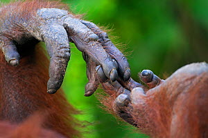 Bornean Orang-utan (Pongo pygmaeus wurmbii) female 'Siswi's' hand holding foot close-up. Camp Leakey, Tanjung Puting National Park, Central Kalimantan, Borneo, Indonesia, June 2010. Rehabilitated and...  -  Fiona Rogers
