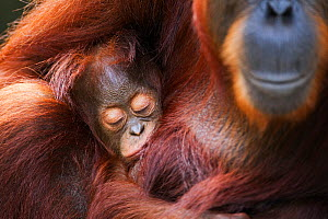 Bornean Orang-utan (Pongo pygmaeus wurmbii) female 'Tutut' cradling her sleeping baby 'Thor' aged 8-9 months head portrait. Camp Leakey, Tanjung Puting National Park, Central Kalimantan, Borneo, Indon... - Fiona Rogers