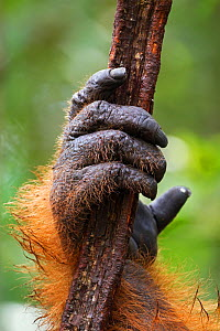 Bornean Orang-utan (Pongo pygmaeus wurmbii) mature male 'Doyok's' hand holding a liana. Pondok Tanggui, Tanjung Puting National Park, Central Kalimantan, Borneo, Indonesia, June 2010. Rehabilitated an...  -  Fiona Rogers