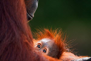 Bornean Orang-utan (Pongo pygmaeus wurmbii) female 'Tutut' cradling her baby 'Thor' aged 8-9 months head portrait. Camp Leakey, Tanjung Puting National Park, Central Kalimantan, Borneo, Indonesia, Jul... - Fiona Rogers