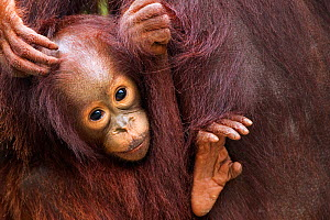 Bornean Orang-utan (Pongo pygmaeus wurmbii) female baby 'Gita' aged 2 years portrait. Camp Leakey, Tanjung Puting National Park, Central Kalimantan, Borneo, Indonesia, July 2010. Rehabilitated and rel...  -  Fiona Rogers