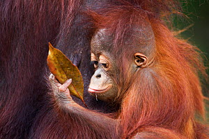 Bornean Orang-utan (Pongo pygmaeus wurmbii) male baby 'Thor' aged 8-9 months playing with a leaf. Camp Leakey, Tanjung Puting National Park, Central Kalimantan, Borneo, Indonesia, July 2010. Rehabilit... - Fiona Rogers