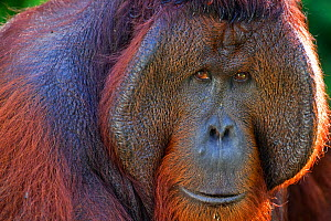 Bornean Orang-utan (Pongo pygmaeus wurmbii) mature male 'Tom' head and shoulders portrait. Camp Leakey, Tanjung Puting National Park, Central Kalimantan, Borneo, Indonesia, June 2010. Rehabilitated an...  -  Fiona Rogers