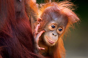 Bornean Orang-utan (Pongo pygmaeus wurmbii) male baby 'Thor' aged 8-9 months held in his mother's arms - portrait. Camp Leakey, Tanjung Puting National Park, Central Kalimantan, Borneo, Indonesia, Jul... - Fiona Rogers
