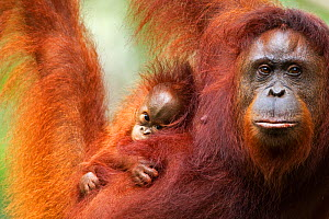 Bornean Orang-utan (Pongo pygmaeus wurmbii) female 'Tata' and her unnamed baby aged 2-3 months portrait. Camp Leakey, Tanjung Puting National Park, Central Kalimantan, Borneo, Indonesia, June 2010. Re...  -  Fiona Rogers