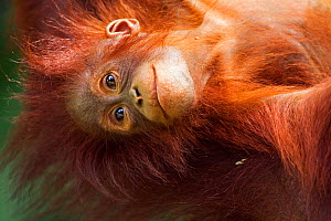 Bornean Orang-utan (Pongo pygmaeus wurmbii) female baby 'Petra' aged 12 months hanging upside down from her mother. Camp Leakey, Tanjung Puting National Park, Central Kalimantan, Borneo, Indonesia, Ju... - Fiona Rogers