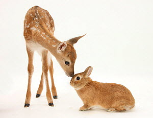 Fallow Deer (Dama dama) fawn and Sandy Netherland-cross rabbit. NOT AVAILABLE FOR BOOK USE - Mark Taylor