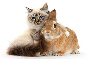 Tabby-point Birman cat with paw round Sandy Netherland-cross rabbit. NOT AVAILABLE FOR BOOK USE  -  Mark Taylor
