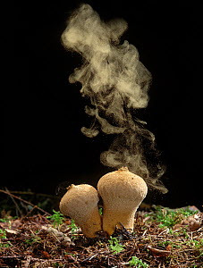 Common Puffball fungus (Lycoperdon perlatum) emitting spores into the air  -  Yves Lanceau
