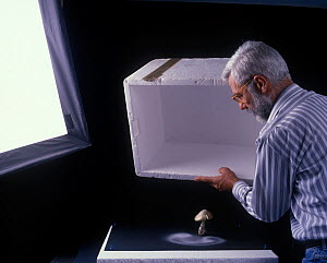 Photographer Yves Lanceau in his studio lifting a polystyrene box off a False Death Cap fungus (Amanita citrina var. alba) in order to study the spore dispersal patterns  -  Yves Lanceau