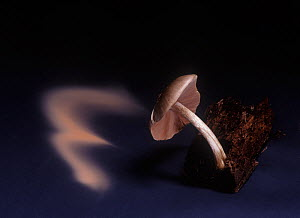 Fawn shield-cap fungus (Pluteus cervinus)showing spore dispersal pattern over 18 hours on black card  -  Yves Lanceau