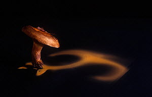 Brown roll rim fungus (Paxillus involutus) showing spore dispersal pattern over 24 hours on black card  -  Yves Lanceau