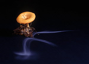 Common funnel cap fungus (Clitocybe gibba) showing spore dispersal pattern over 30 hours on black card  -  Yves Lanceau