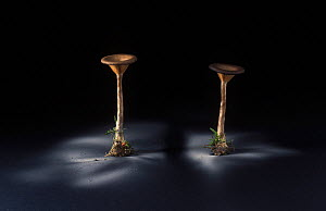 Fungus (Pseudoclitocybe cyathiformis) showing spore dispersal pattern over 24 hours on black card  -  Yves Lanceau