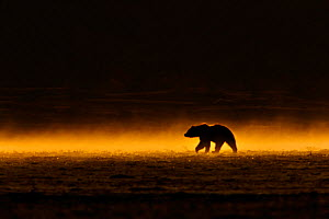 Grizzly Bear (Ursus arctos) on the move in late evening light after heavy rain. Alaska, USA, June.  -  Andy Rouse