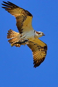 Osprey (Pandion haliaetus) in flight. Wales, UK, April. - Andy Rouse