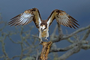 Osprey (Pandion haliaetus) landing on a branch. Wales, UK, March.  -  Andy Rouse