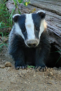 Young European Badger (Meles meles) emerging from its sett. Controlled conditions. UK, Europe, June.  -  Andy Rouse