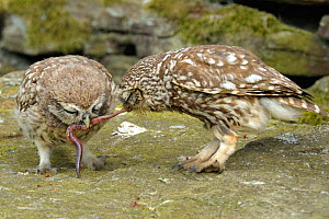 Little Owl (Athene noctua) adult (right) sharing a worm with its chick. Wales, UK, Europe. - Andy Rouse