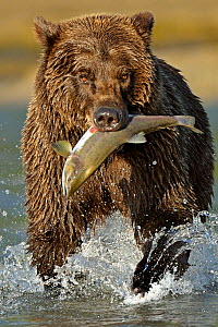 Grizzly Bear (Ursus arctos horribilis) walking through water with caught salmon in its mouth. Katmai, Alaska, USA, August.  -  Andy Rouse