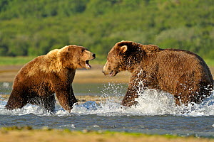 RF- Grizzly Bear (Ursus arctos horribilis) male (right) and female fighting in water over salmon. Katmai, Alaska, USA, August. (This image may be licensed either as rights managed or royalty free.) - Andy  Rouse