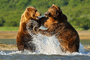 Grizzly Bear (Ursus arctos horribilis) male (right) and female fighting in water over salmon. Katmai, Alaska, USA, August. - Andy Rouse