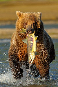 Grizzly Bear (Ursus arctos horribilis) with a large salmon in its mouth. Katmai, Alaska, USA, August. - Andy Rouse